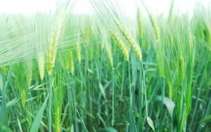 Poznejte účinky zeleného ječmene
